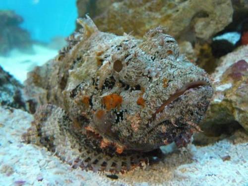 información sobre el pez piedra 1