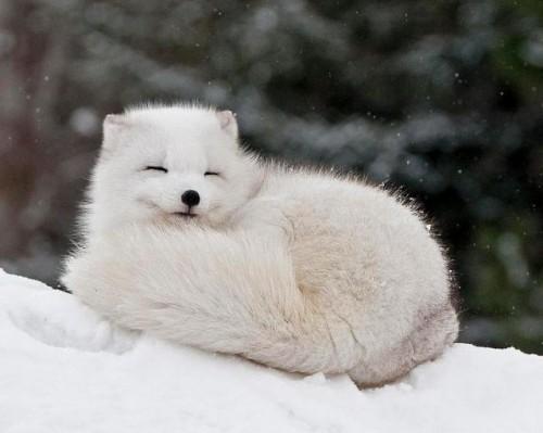 información sobre el zorro artico 2