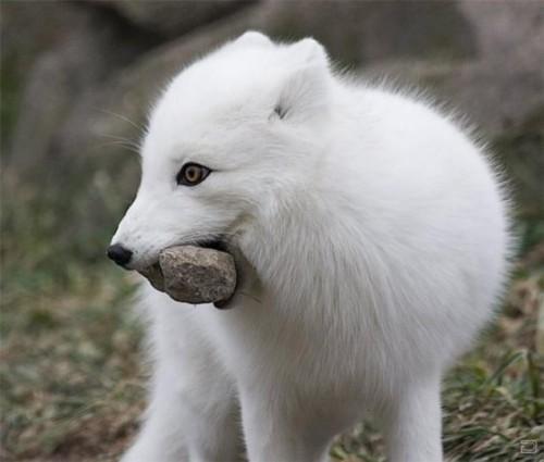 información sobre el zorro artico 3