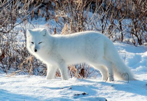 información sobre el zorro artico 4