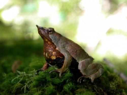 información sobre la Rana Darwin 3