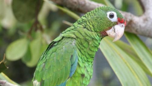información sobre la cotorra amazona brillante 3