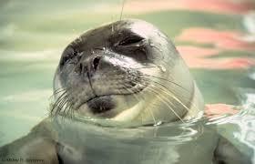 información sobre la foca monje del mediterraneo 2