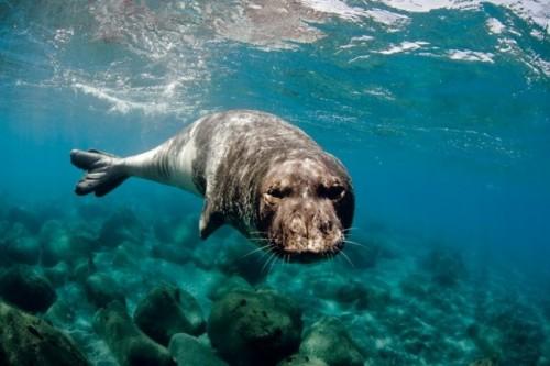 información sobre la foca monje del mediterraneo 3