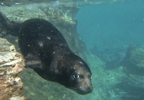 información sobre la foca monje del mediterraneo 4
