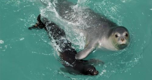 información sobre la foca monje del mediterraneo 5
