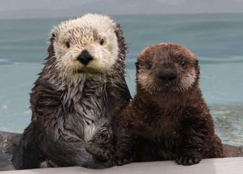 información sobre la nutria marina 3