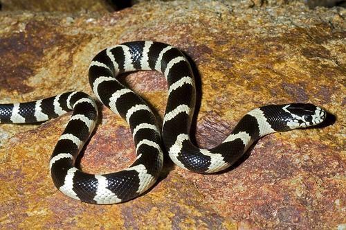 información sobre la serpiente rey de California 1