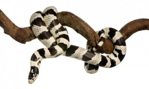 información sobre la serpiente rey de California 3