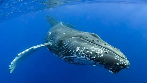 información sobre las especies de ballenas 1