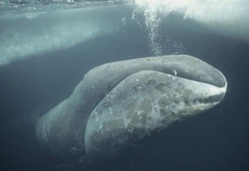 información sobre las especies de ballenas 8