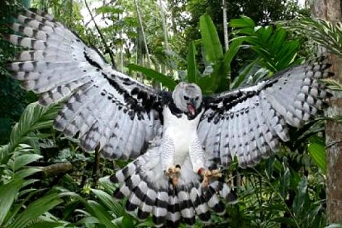Información sobre el águila arpía 2