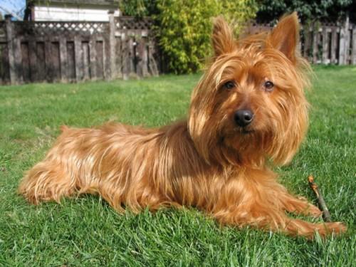 Información sobre el Australian Terrier 2