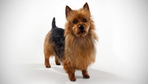 Información sobre el Australian Terrier 3