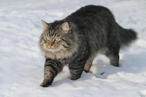 Información sobre el Gato alemán de pelo largo 1