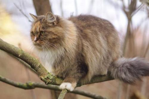 Información sobre el Gato alemán de pelo largo 2