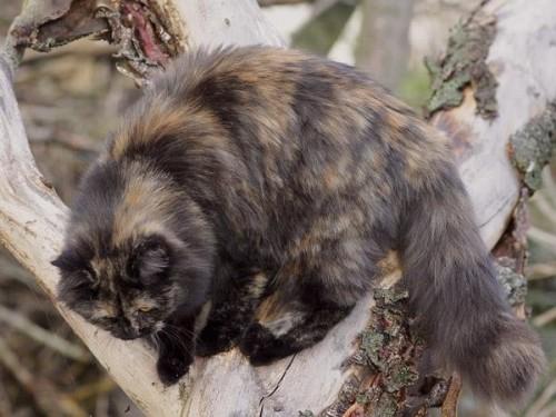Información sobre el Gato alemán de pelo largo 3