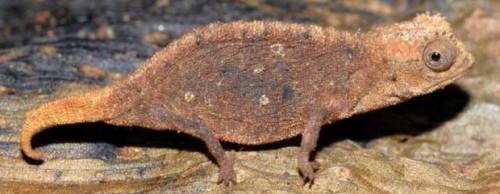Información sobre el camaleón enano 3