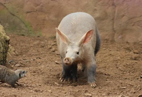 Información sobre el cerdo hormiguero 3