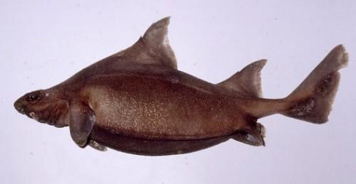 Información sobre el cerdo marino 2