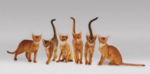 Información sobre el gato abisinio 2