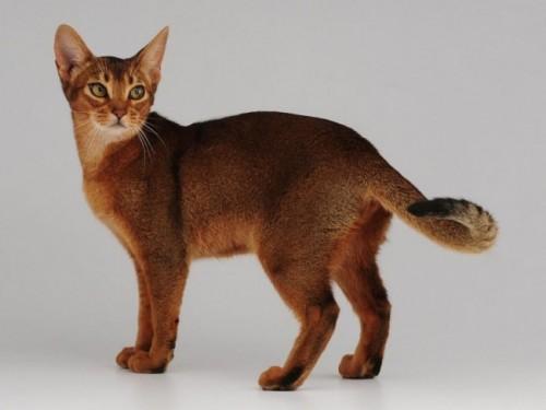 Información sobre el gato abisinio 3