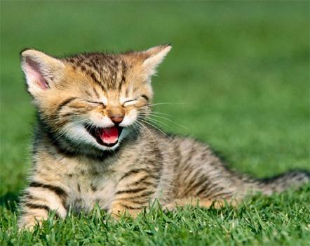 Información sobre el gato asiático humo atigrado 3