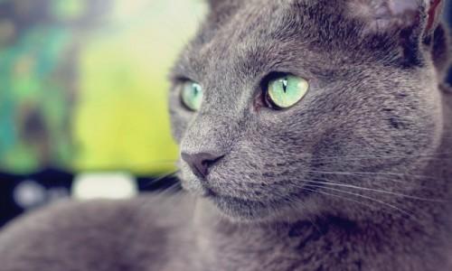 Información sobre el gato azul ruso 1