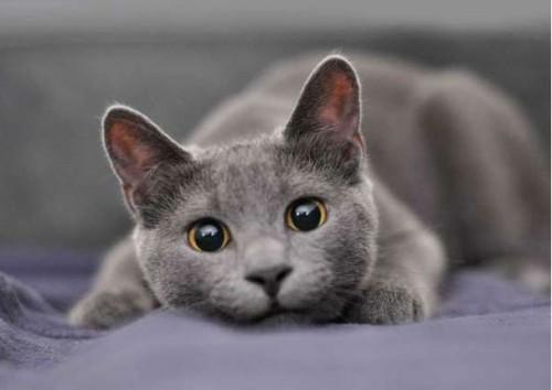 Información sobre el gato azul ruso 3