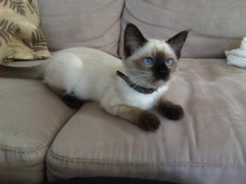 Información sobre el gato balinés 1