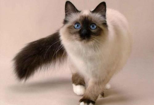 Información sobre el gato balinés 2