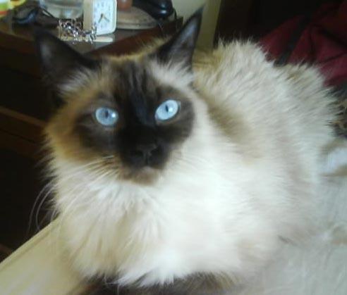 Información sobre el gato balinés 3