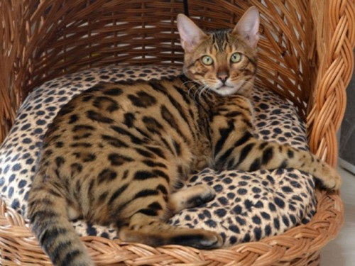 Información sobre el gato bengalí 2