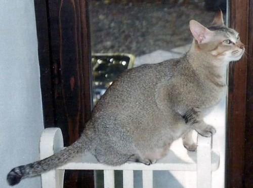Información sobre el gato ceilán 1