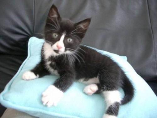 Información sobre el gato ceilán 3