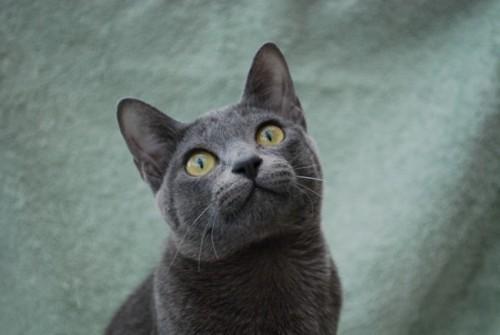 Información sobre el gato korat 1