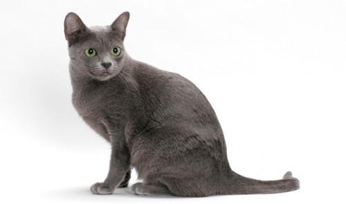 Información sobre el gato korat 2