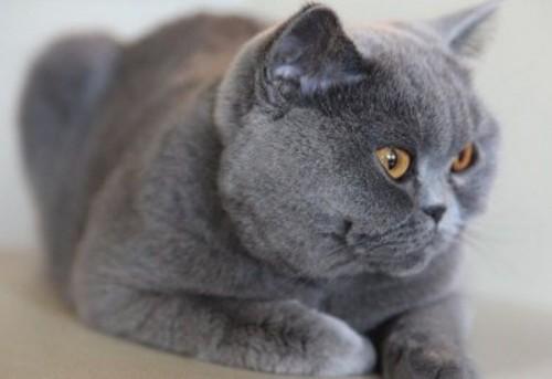 Información sobre el gato korat 3
