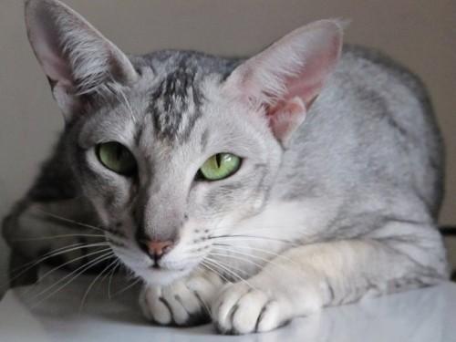 Información sobre el gato oriental 1
