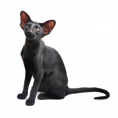 Información sobre el gato oriental 3