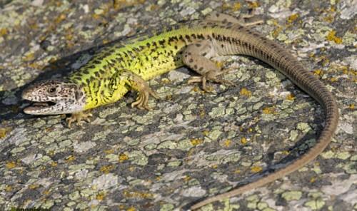 Información sobre el lagarto verdinegro 1