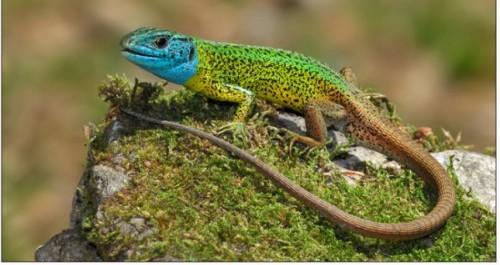 Información sobre el lagarto verdinegro 2