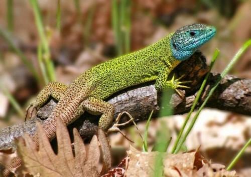 Información sobre el lagarto verdinegro 3