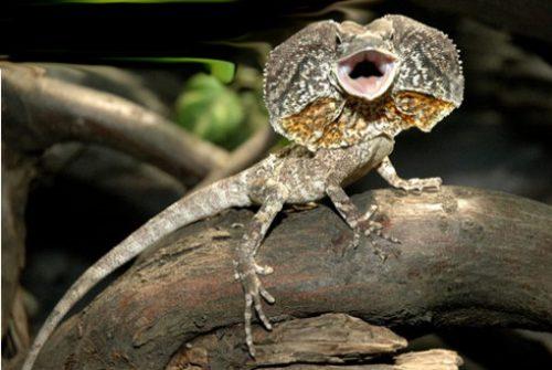 información sobre el lagarto de…</div>         <div class=