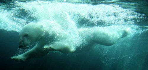 información sobre el oso polar 3
