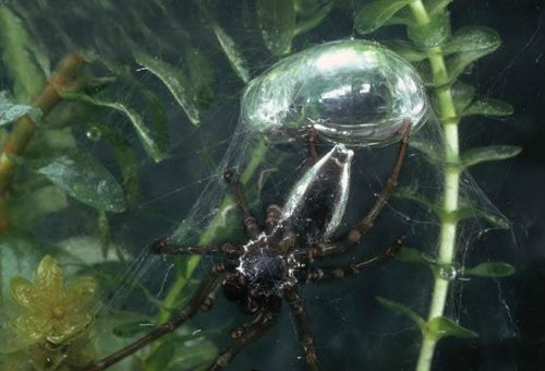 información sobre la araña de agua 2