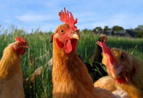 información sobre la gallina 2