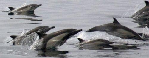 Delfín común de rostro largo 3