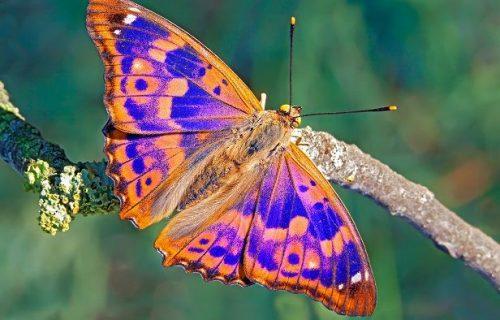 Información sobre la mariposa 4