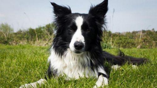Las 10 razas de perros más inteligentes 11